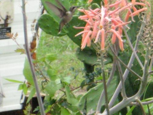 Photo of Aloe vera (Medicinal Aloe)