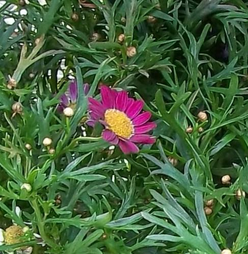 Photo of Argyranthemum frutescens (Marguerite Daisy, Cobbitty Daisy)
