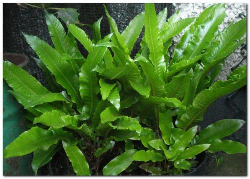 Photo of Asplenium scolopendrium   (Hart's Tongue Fern)