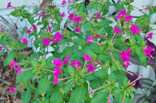 Photo of Mirabilis jalapa (Marvel of Peru, Four O'Clock Flower)