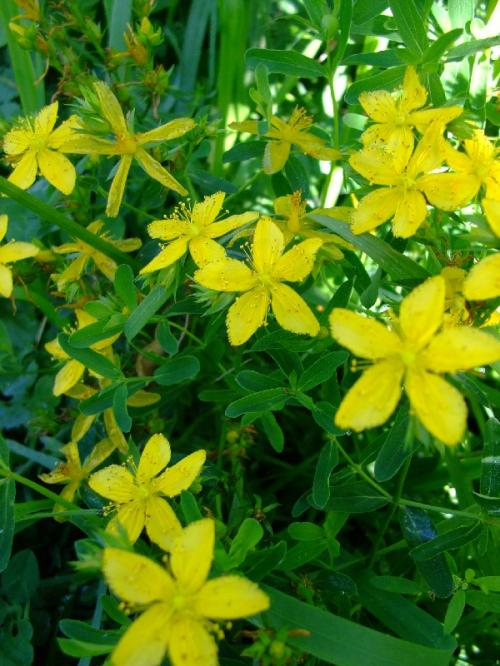 Photo of Hypericum perforatum   (St. John's Wort, Klamath Weed)