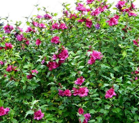 Althea Tree Plant http://mozaiekastene.be/kleuters/althea-plant
