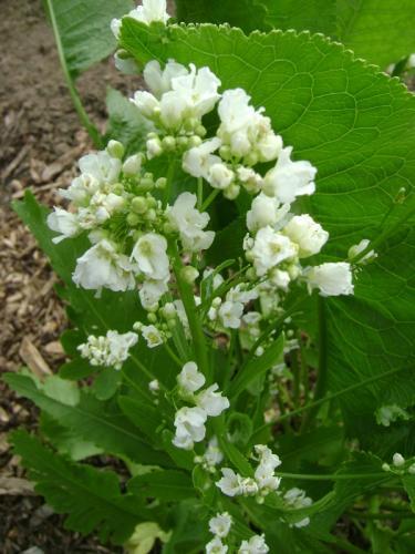 Photo of Armoracia rusticana (Horseradish)