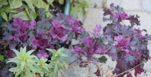 Photo of Brassica oleracea (Ornamental Cabbage)