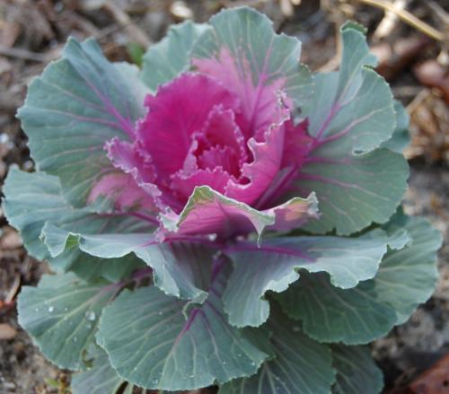 Photo of Brassica oleracea (Ornamental Cabbage)
