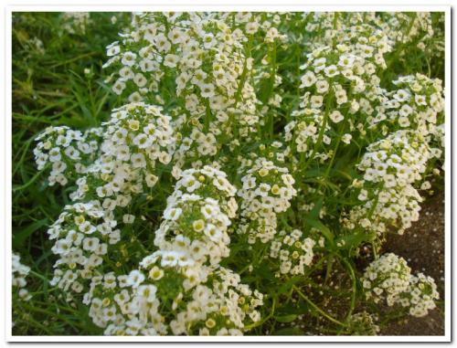 Photo of Lobularia maritima (Sweet Alyssum)