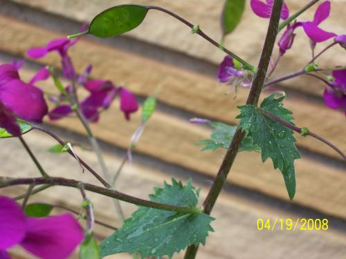 Lunaria Annua Annual Honesty Money Plant Plant Page