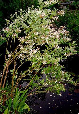 Photo of Vaccinium corymbosum (Northern Highbush Blueberry)