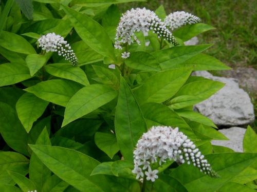 Photo of Lysimachia clethroides (Gooseneck Loosestrife)