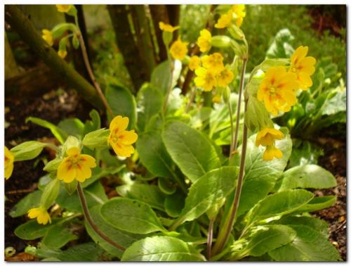 Photo of Primula veris (Cowslip, Cowslip Primrose)