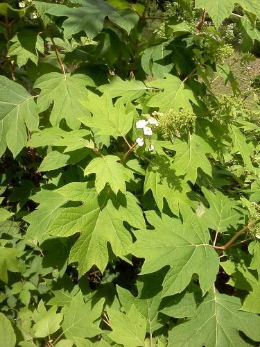 Photo of Hydrangea quercifolia (Oakleaf Hydrangea)