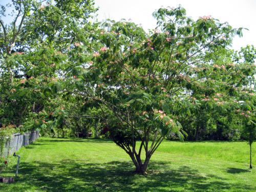 Photo of Albizia julibrissin (Mimosa Tree, Silk Tree, Pink Siris)
