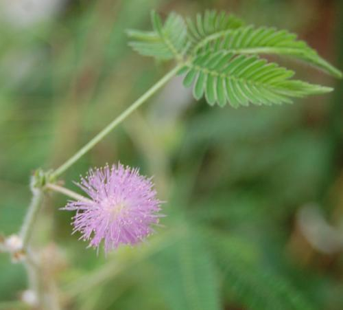 Photo of Mimosa pudica (Sensitive Plant, Tickle Me Plant)