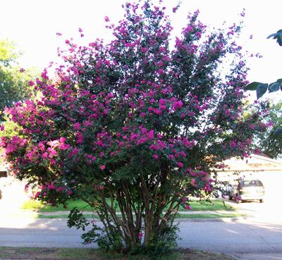 Photo of Lagerstroemia indica (Crape Myrtle, Crepe Myrtle)
