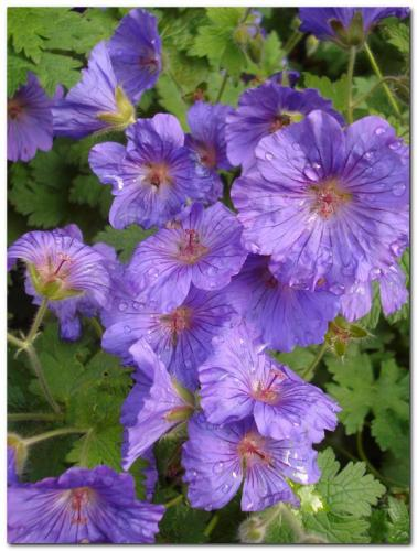 Photo of Geranium pratense (Meadow Cranesbill)