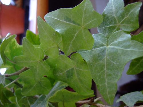 Photo of Hedera helix   (Common Ivy, English Ivy)