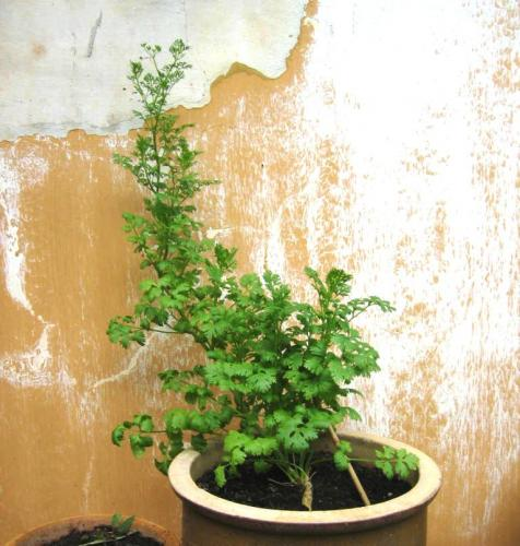 Photo of Coriandrum sativum (Coriander, Cilantro, Chinese Parsley)