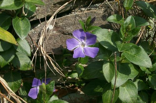 Photo of Vinca major   (Large Periwinkle)