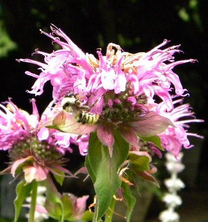 Photo of Monarda didyma (Bee Balm)