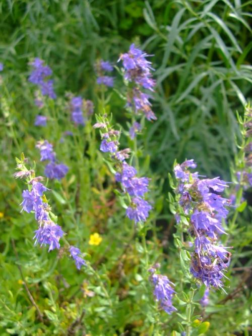 Photo of Hyssopus officinalis (Hyssop)
