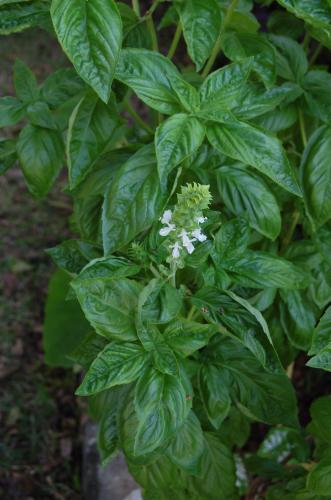 Photo of Ocimum basilicum (Sweet Basil)