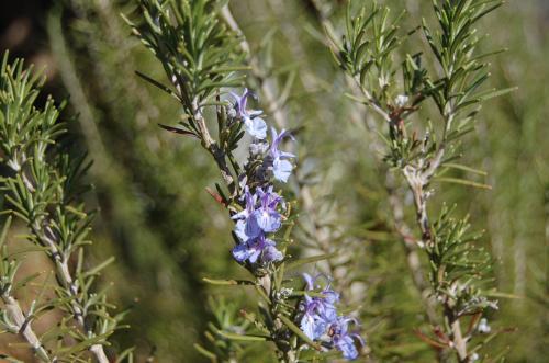 Photo of Rosmarinus officinalis (Rosemary)