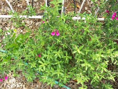 Photo of Salvia greggii (Autumn Sage, White Autumn)