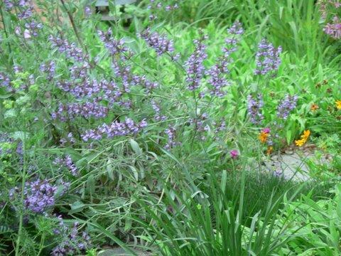 Photo of Salvia officinalis (Common Sage, Kitchen Sage)