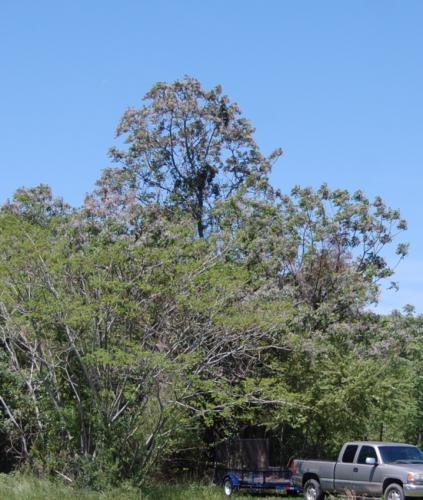 Photo of Paulownia tomentosa (Empress Tree, Princess Tree)
