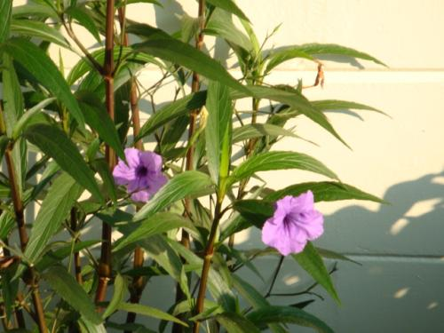 Photo of Ruellia brittoniana (Mexican Petunia)