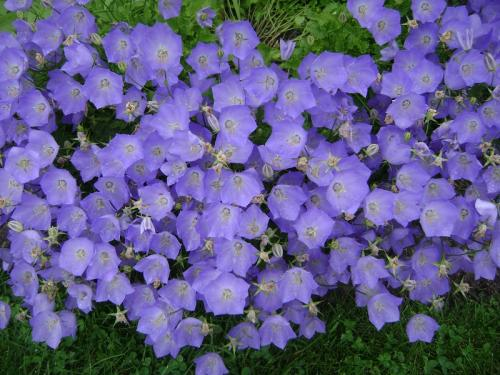 Photo of Campanula carpatica (Carpathian Bellflower, Tussock Bellflower)