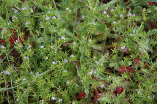 Photo of Sherardia arvensis (Field Madder)