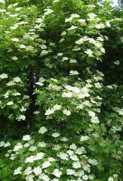 Photo of Sambucus nigra (Common Elder, European Black Elderberry)
