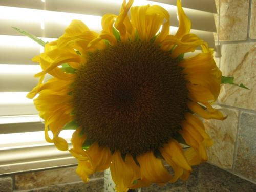 Photo of Helianthus annuus (Sunflower)