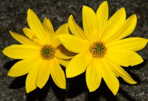 Photo of Helianthus microcephalus (Small Woodland Sunflower)