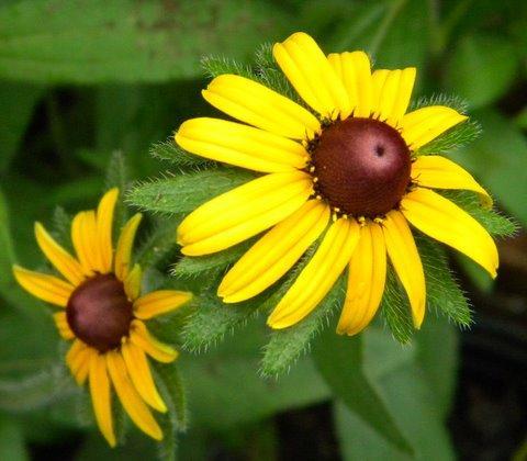 Photo of Rudbeckia hirta (Black-Eyed Susan, Gloriosa Daisy)