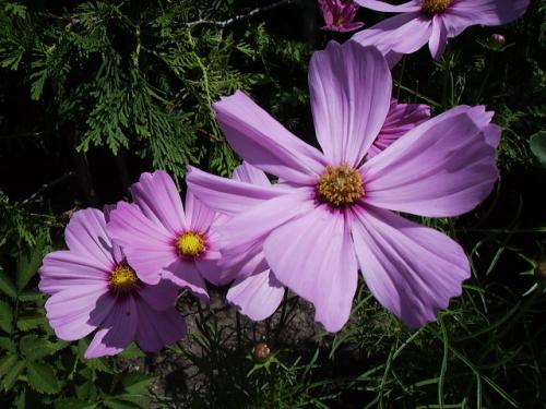 Photo of Cosmos bipinnatus (Garden Cosmos, Mexican Aster)
