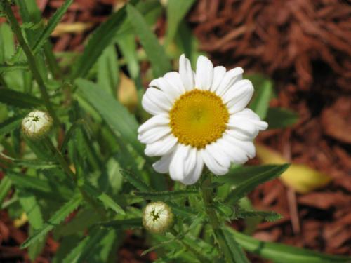 Photo of Leucanthemum maximum (Shasta Daisy)