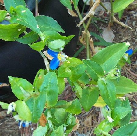 Photo of Commelina communis (Asiatic Dayflower)