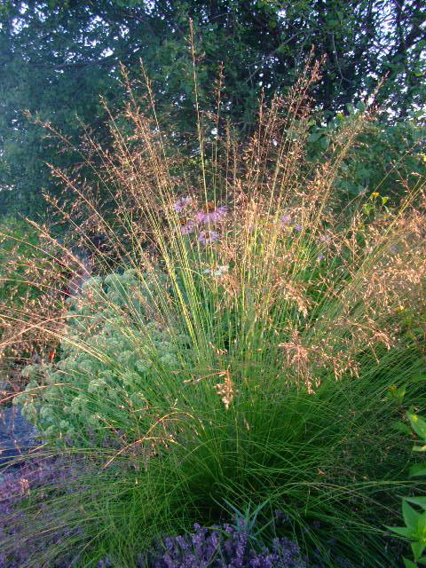 Photo of Sporobolus heterolepis (Prairie Dropseed)