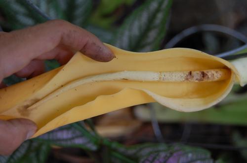 Photo of Colocasia esculenta (Taro, Coco Yam, Elephant Ear)