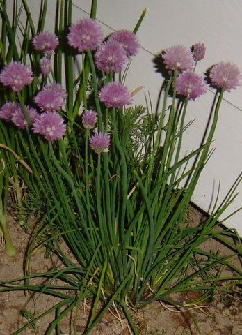 Photo of Allium schoenoprasum (Chives)