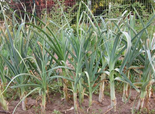 Photo of Allium porrum (Garden Leek)