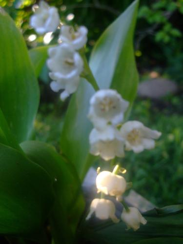 Photo of Convallaria majalis (Lily Of The Valley)