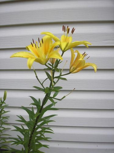 Photo of Hemerocallis lilioasphodelus (Yellow Daylily, Lemon Lily)