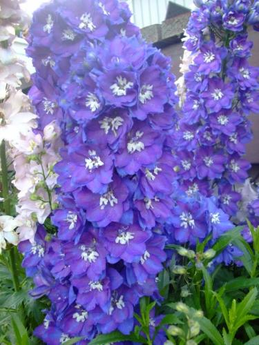 Photo of Delphinium elatum (Candle Larkspur)