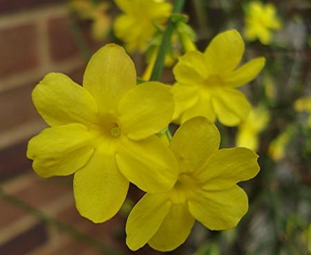 Photo of Jasminum nudiflorum (Winter Jasmine)