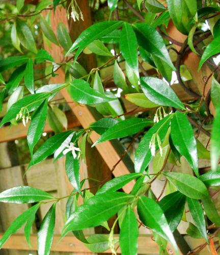 Photo of Jasminum officinale (Common Jasmine)