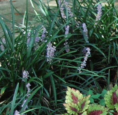 Photo of Liriope muscari (Lily-Turf, Big Blue Lilyturf)