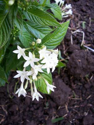 Photo of Pentas lanceolata (Pentas, Star Flower)